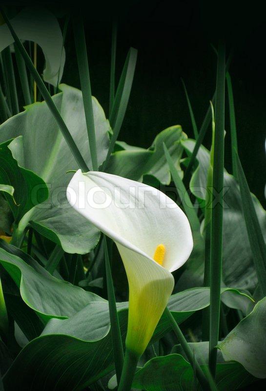 Atemberaubend Pure weiße Calla Blume im Garten unter   Stock Bild   Colourbox #DO_98
