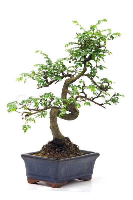 chinesischer gr ner bonsai baum auf wei em hintergrund. Black Bedroom Furniture Sets. Home Design Ideas