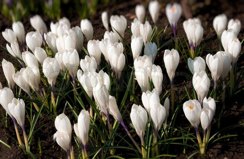 Spring Holiday White Crocus Flowers Stock Photo Colourbox