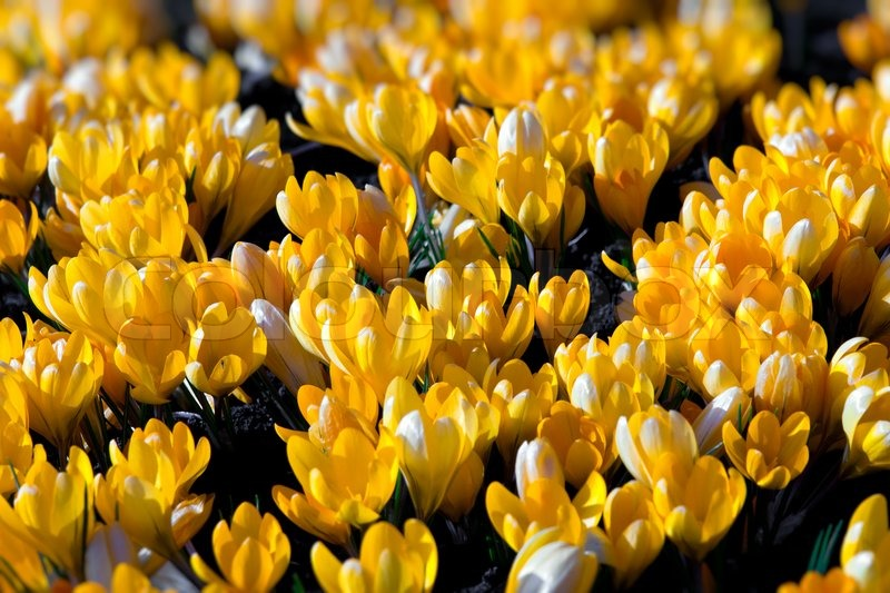 Spring holiday yellow crocus flowers stock photo colourbox mightylinksfo