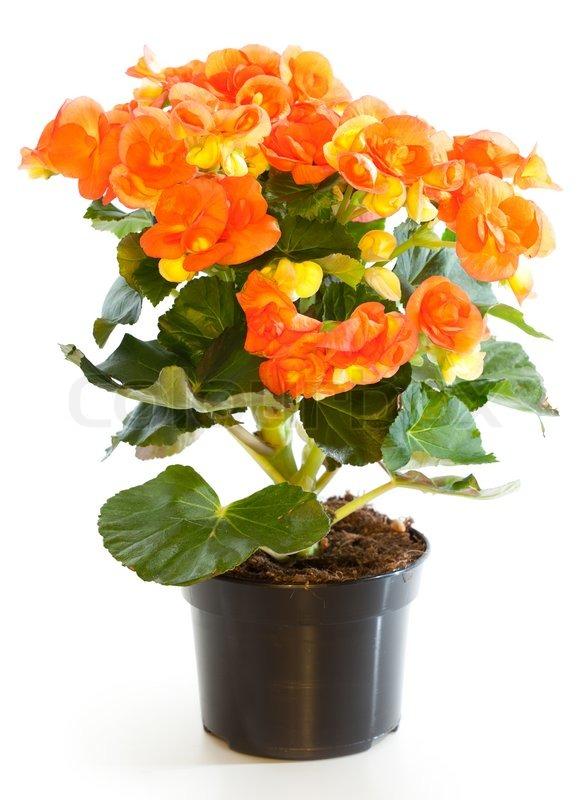 bl hende pflanzen von begonia im blumentopf isoliert auf wei stock foto colourbox. Black Bedroom Furniture Sets. Home Design Ideas
