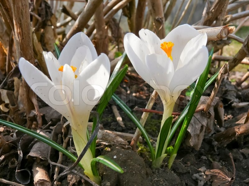 The First Spring Flowers White Crocuses Stock Photo Colourbox