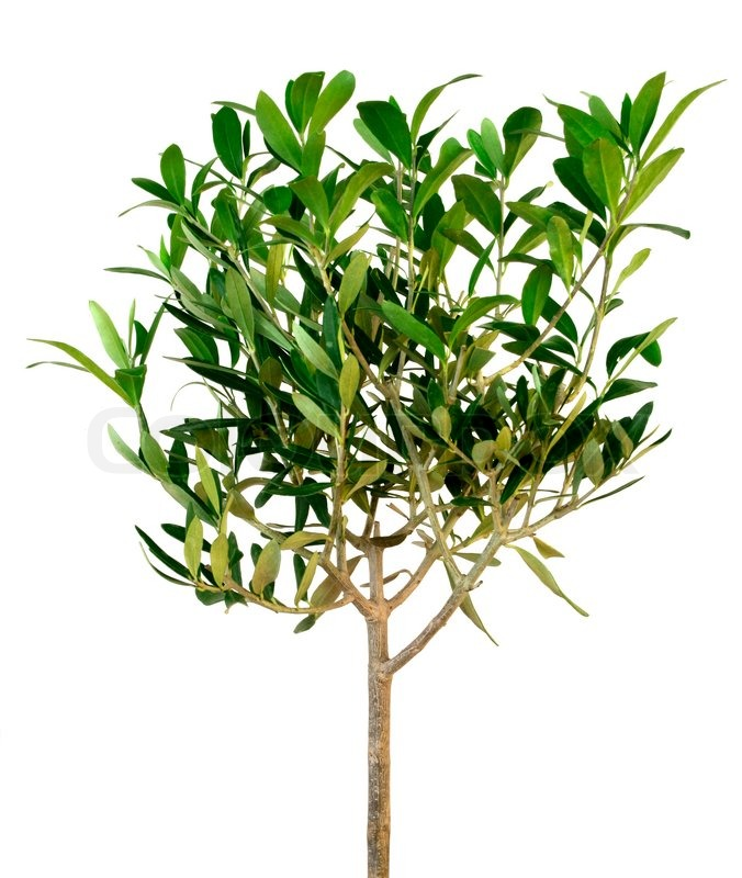 Stock image of 'Small green olive tree isolated on white'