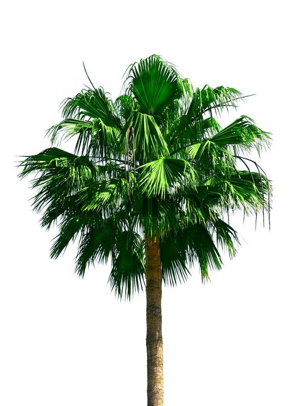 Green fan palm tree isolated on white background | Stock ...