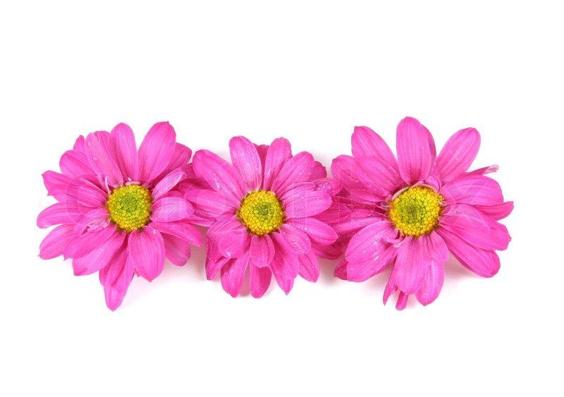 Drei rosa Blumen auf weiß isoliert.  Stockfoto  Colourbox