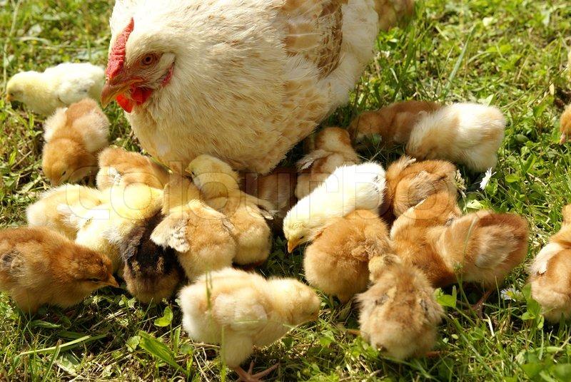 Best Chicken Food For Chicks