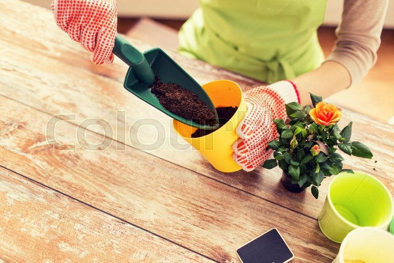 People, gardening, flower planting and profession concept - close up of woman or gardener hands planting roses to flower pot at home, stock photo