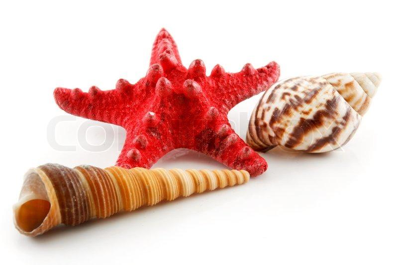 farbige muscheln   seestern und jakobsmuschel   auf wei u00dfen seashell clip art free printable seashell clip art free printable