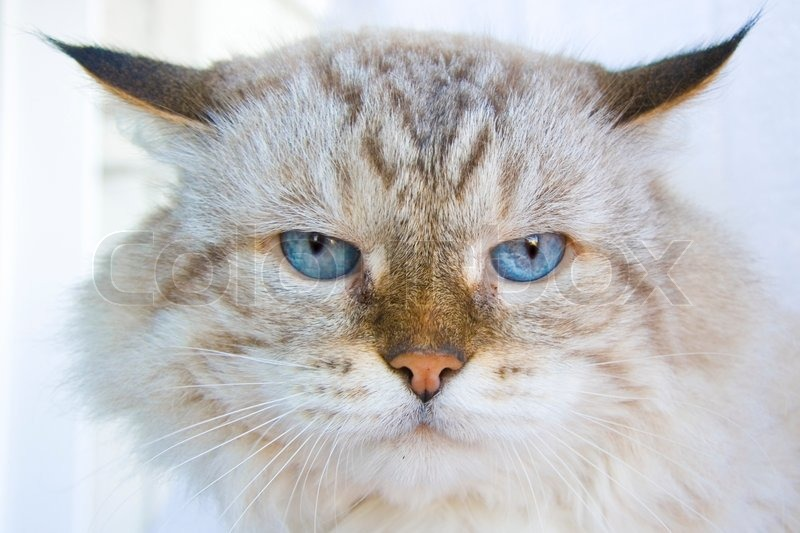 Angry cat with blue eyes, stock photo
