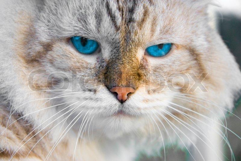 kat blå øjne
