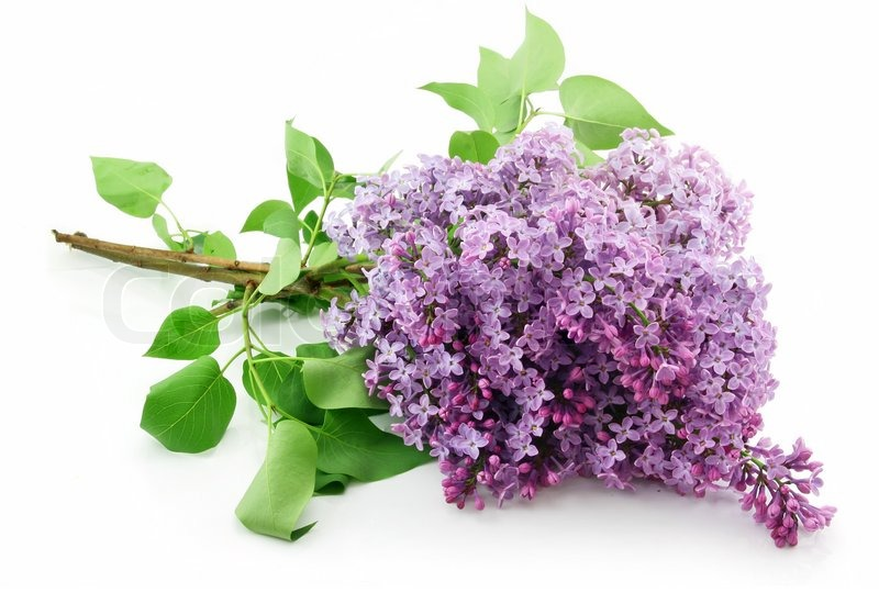 how to cut lilac blossoms