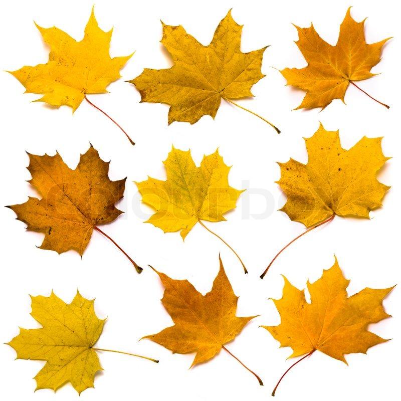 Ahorn-Blätter-set | Stockfoto | Colourbox