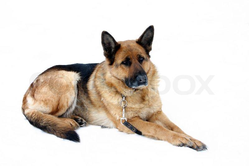 German Shepherd Dog Puppy Fur