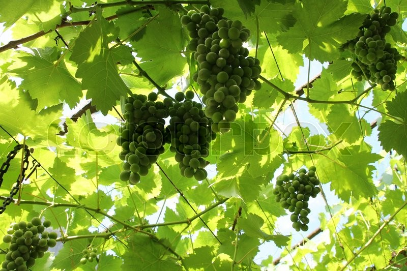 Leaves and bunches of green grapes hanging on the vine in the hot greenhouse of the farmer in spring, stock photo