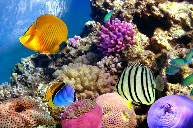 Koralrev Og Tropiske Fisk I Red Sea Stock Foto