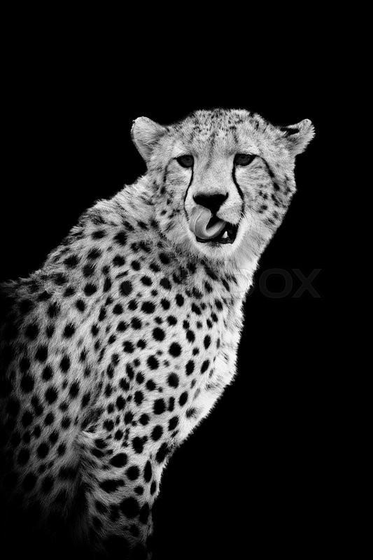 cheetah on dark background black and white image stock