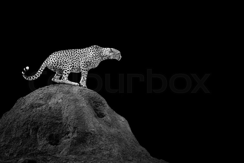 cheetah on dark background black and white image stock