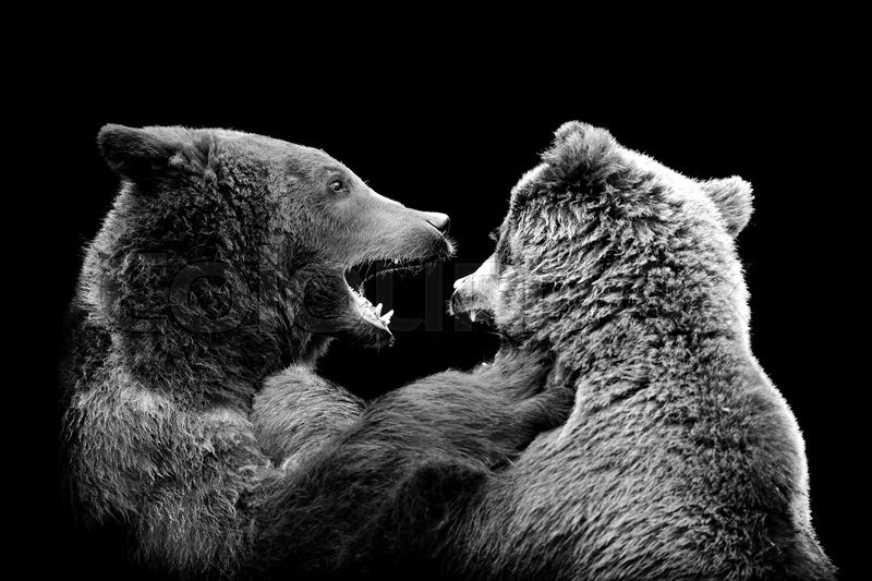 bear on dark background black and white image stock photo colourbox
