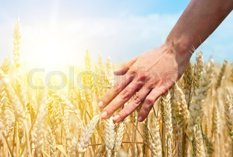 Wheat ears in the hand. Harvest concept, stock photo
