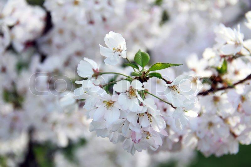 April Kirsche Frühling weiße Blüten und Blätter , Makro   Stockfoto ...