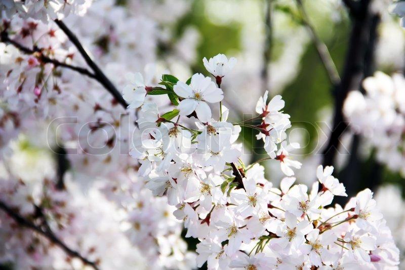 April Kirsche Frühling weiße Blüten, Makro-Ansicht , Ast   Stockfoto ...