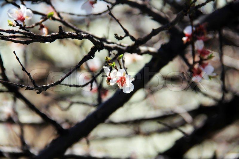 Cherry white spring april blossom tree branches stock photo colourbox - Romanian cherry tree varieties ...