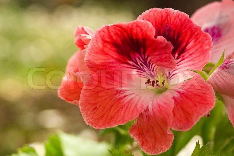 Close-up photograph of a red geranium flower. | Stock ...