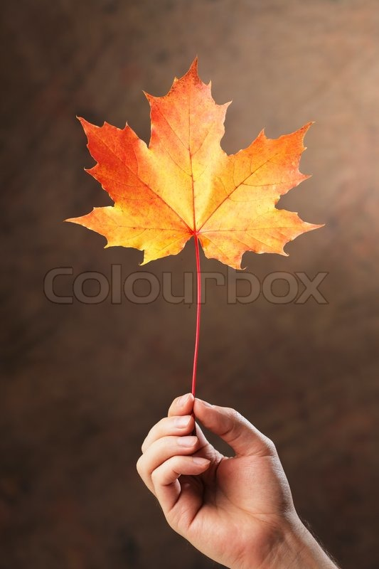 Hand Holding An Autumn Colored Maple Tree Leaf Stock