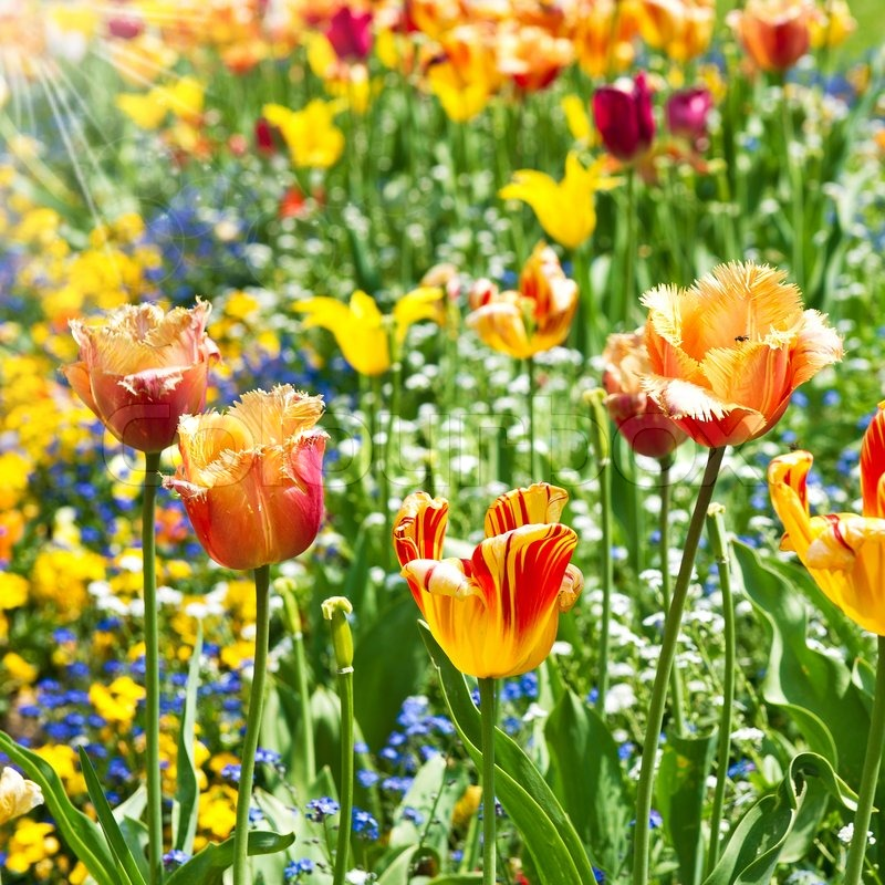 Colorful spring tulip flowers. sunny day | Stock Photo | Colourbox