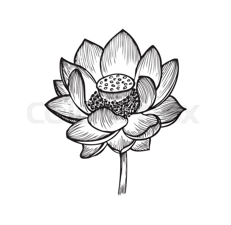 The lotus flower, black and white vector illustration | Stock Vector ...