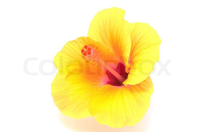 gelbe hibiskus blume auf wei em hintergrund stockfoto colourbox. Black Bedroom Furniture Sets. Home Design Ideas