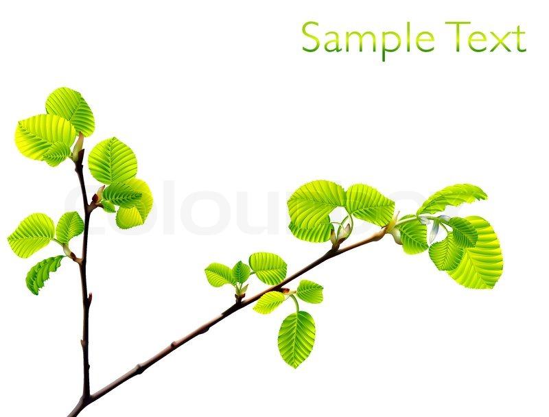 Vector Zweig der grünen Buche Blätter auf weißem Hintergrund ...