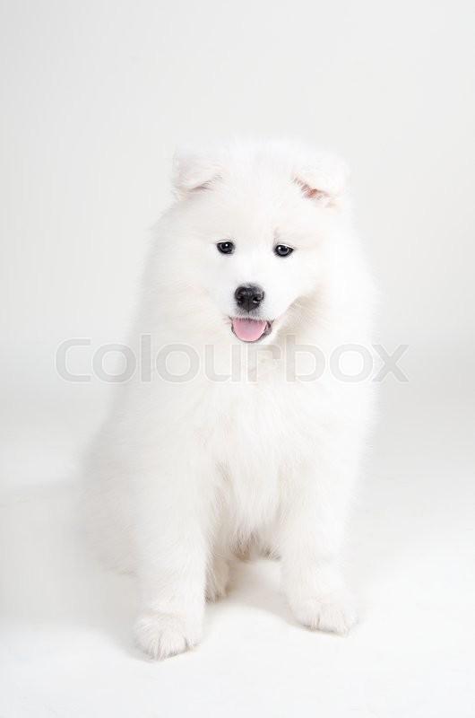 lovely samoyed puppy on a light gray background stock
