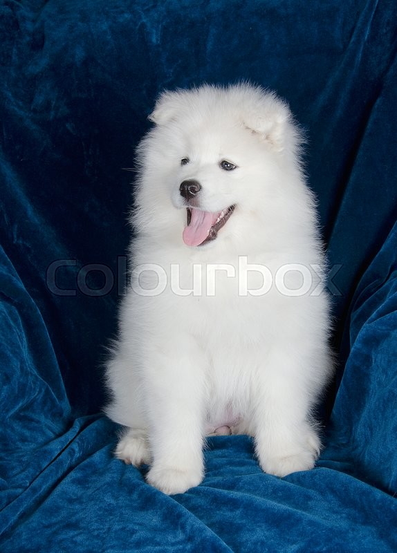 happy samoyed puppy sitting on a sofa | stock photo | colourbox