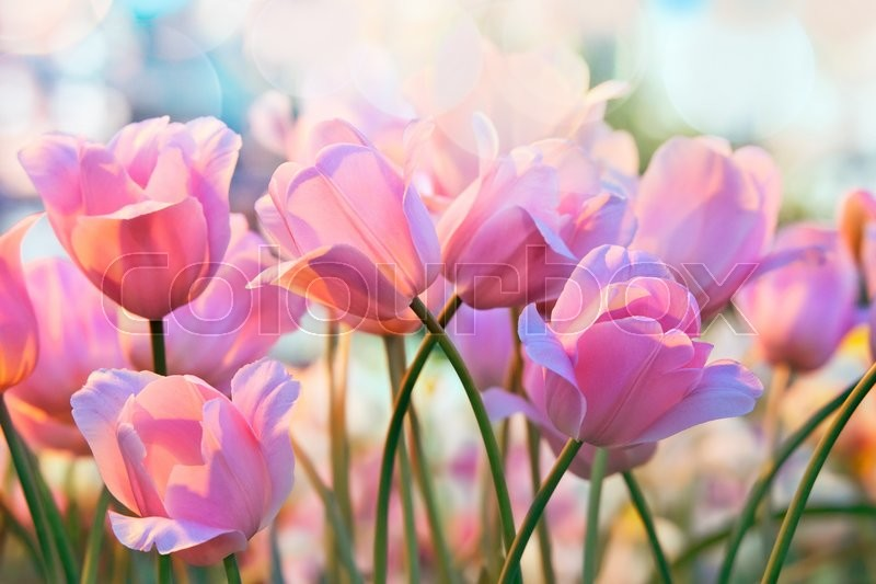 Pink tulips in flower greenhouse on pastel background, stock photo
