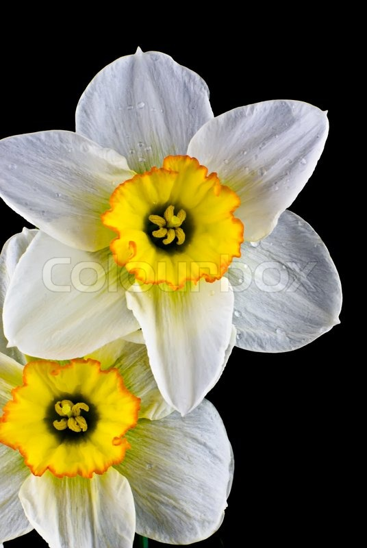 Close up white narcissus with water drops on black background, stock photo
