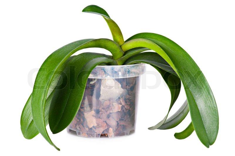 wachsende orchideen pflanzen ohne bl ten in transparent blumentopf mit speziellen boden auf. Black Bedroom Furniture Sets. Home Design Ideas
