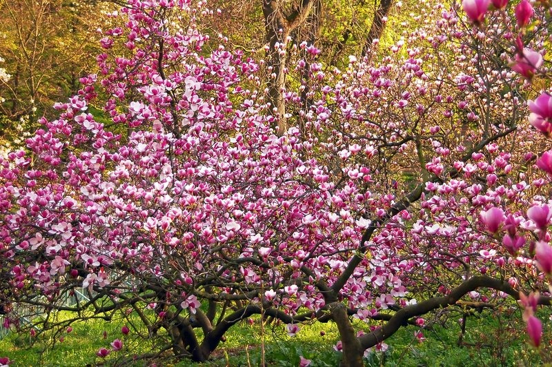 Stock image of 'Bloomy magnolia tree with big pink flowers'