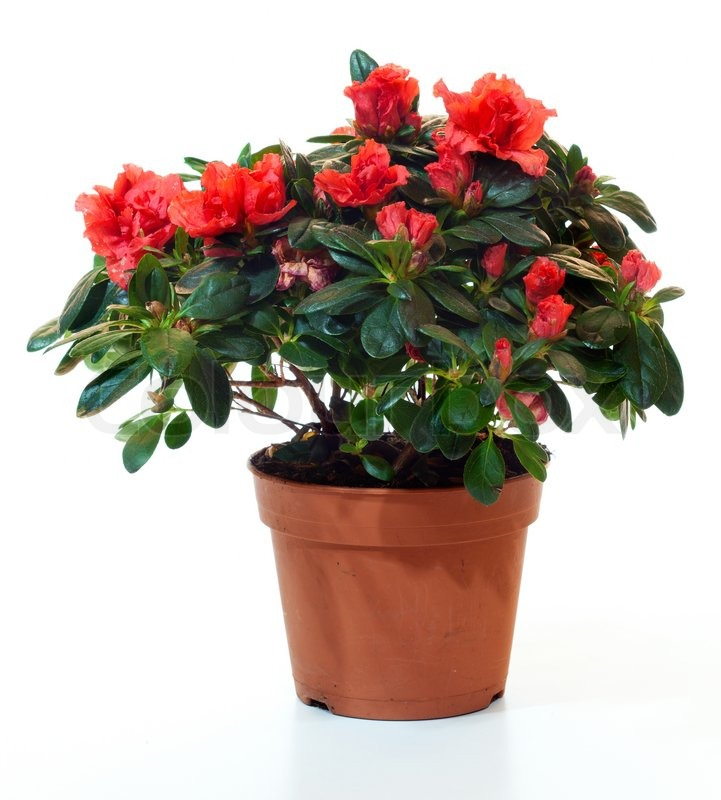 bl hende pflanzen von azaleen im blumentopf isoliert auf wei stockfoto colourbox. Black Bedroom Furniture Sets. Home Design Ideas