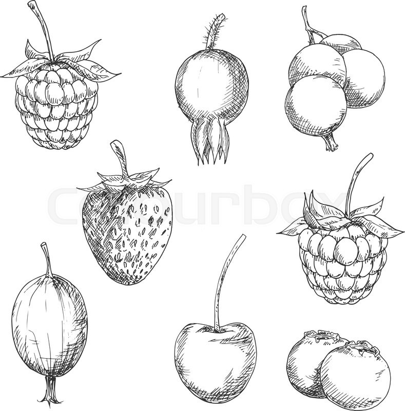 Worksheet. Berry fruits sketches of sweet strawberry and raspberry currant