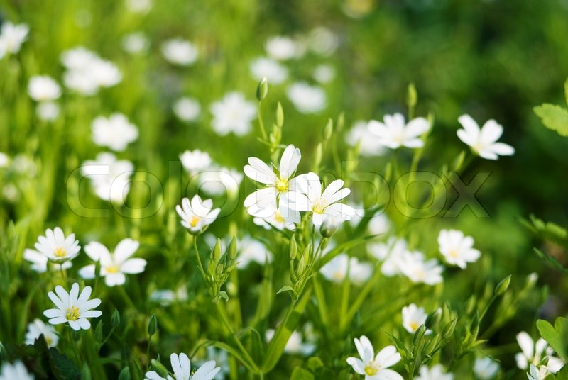 Beautiful spring white flowers in the grass stock photo colourbox mightylinksfo