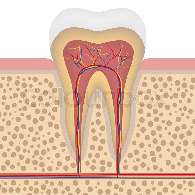 Healthy White Tooth Gums And Bone Illustration Detailed Anatomy