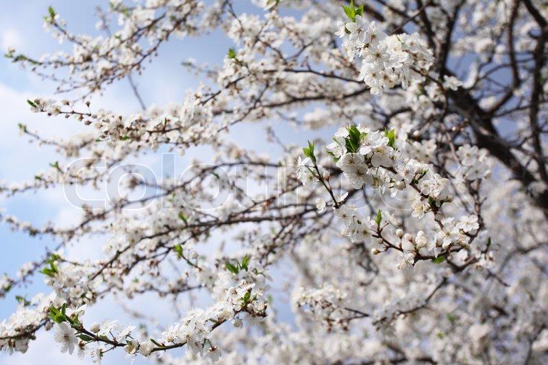 træ med hvide blomster