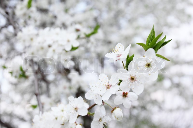 Blossoming tree with white flowers in spring stock photo colourbox blossoming tree with white flowers in spring stock photo mightylinksfo Choice Image