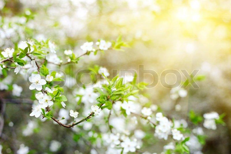 Blühender Baum mit weißen Blüten im Frühjahr   Stockfoto   Colourbox