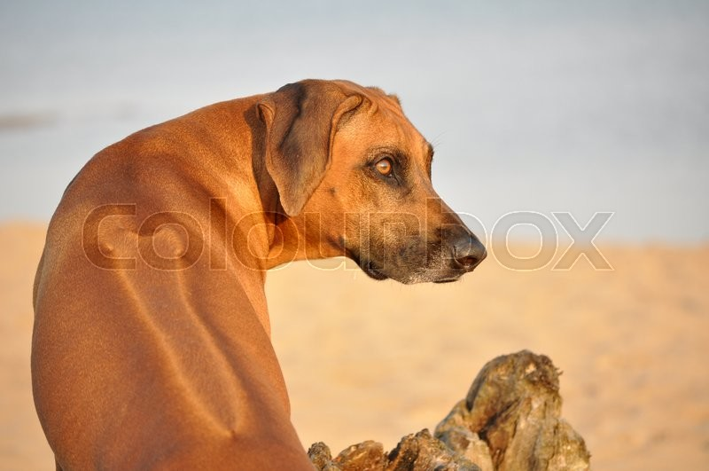 Lion hunter dog from A...