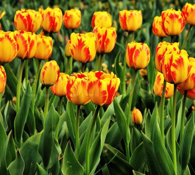 spring tulpen auf einer wiese eine blume hintergrund stockfoto colourbox. Black Bedroom Furniture Sets. Home Design Ideas