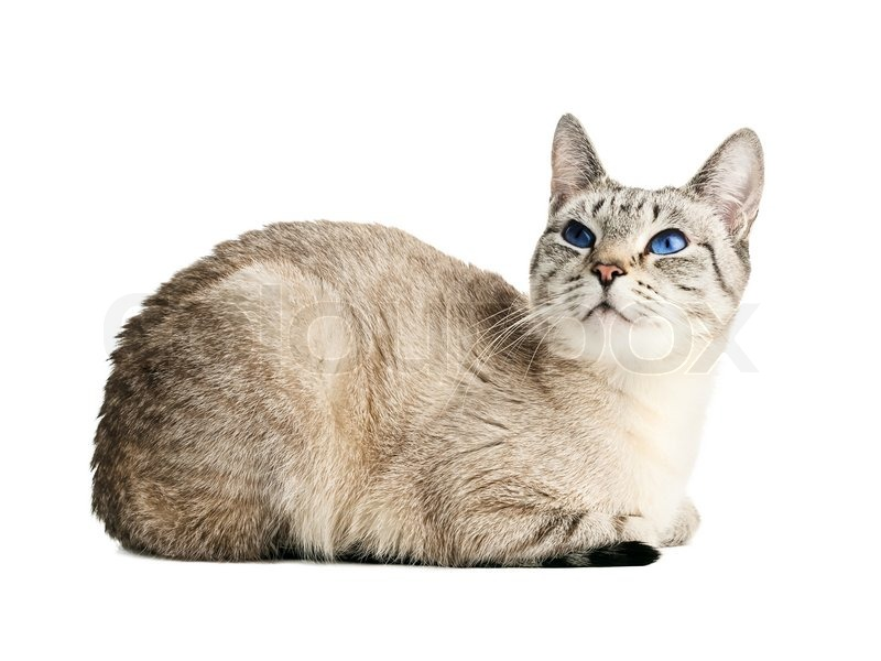 Cat with blue eyes over white background | Stock Photo | Colourbox