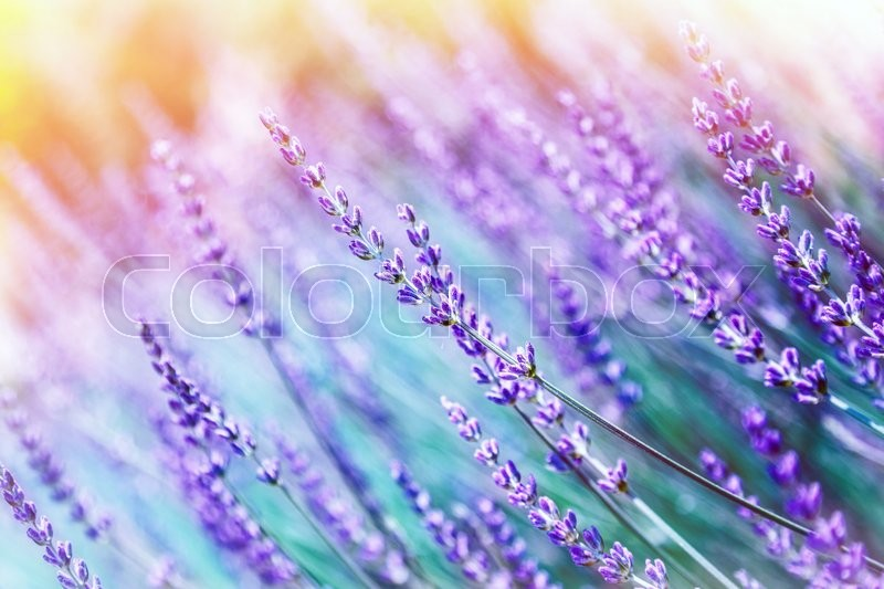 Closeup photo of beautiful gentle lavender flower field, abstract purple floral background, aromatic plant, beauty of spring nature, stock photo
