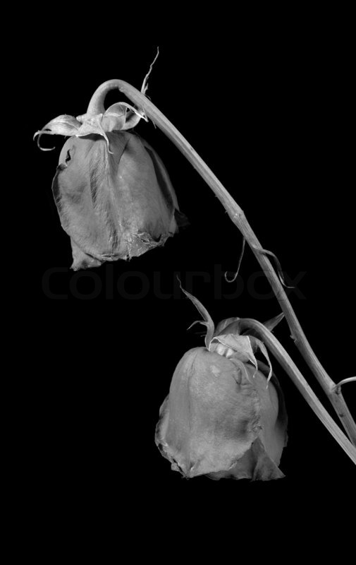 dry rose to wither flowers on a black background stock